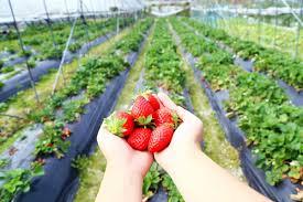 sunny_ridge-starwberry_farm